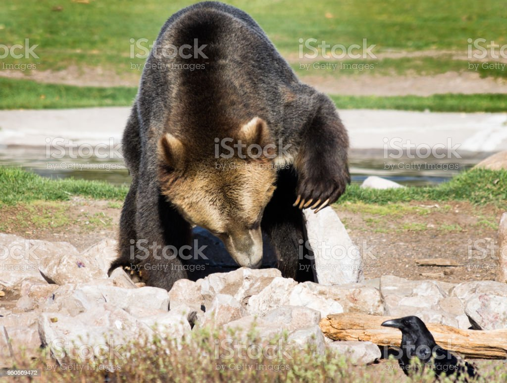 Captive Grizzly Bear Searching for Food stock photo