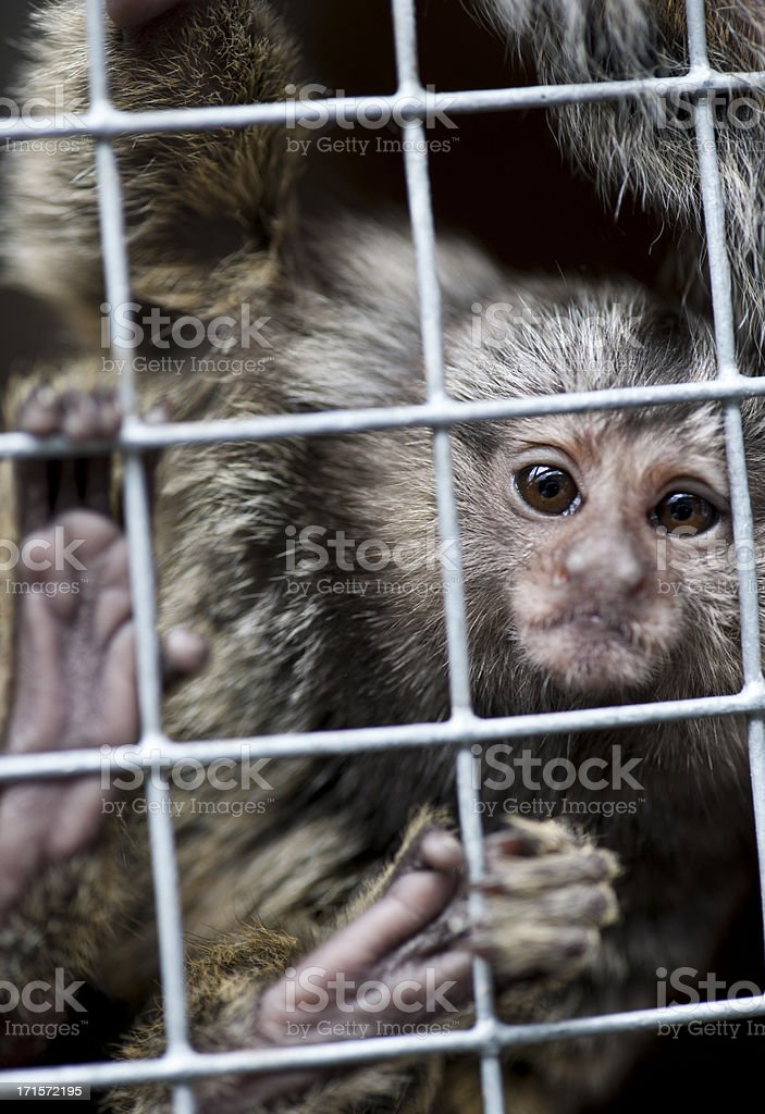 Captive marmoset stock photo