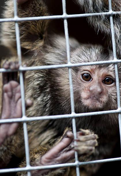 Captive marmoset stock photo