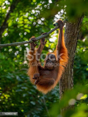 The Sumatran orangutan (Pongo abelii) is one of the three species of orangutans. Found only in the north of the Indonesian island of Sumatra, it is rarer than the Bornean orangutan but more common than the recently identified Tapanuli orangutan, also of Sumatra.