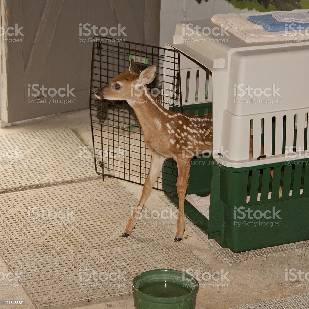 Captive Whitetailed Fawn stock photo