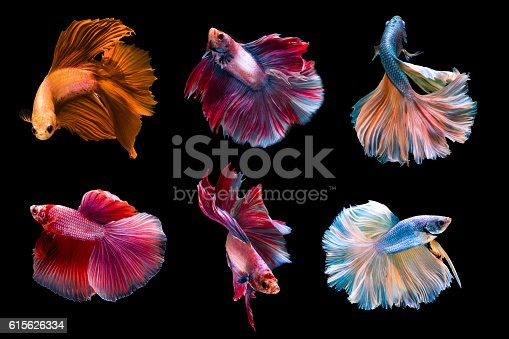 istock 6 capture moving moment siamese fighting fish 615626334