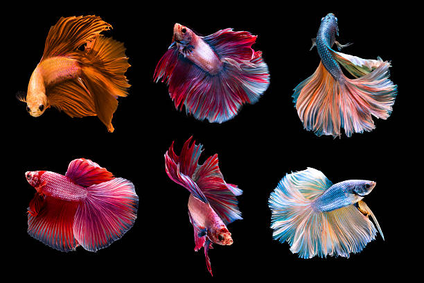 6 capture moving moment siamese fighting fish stock photo