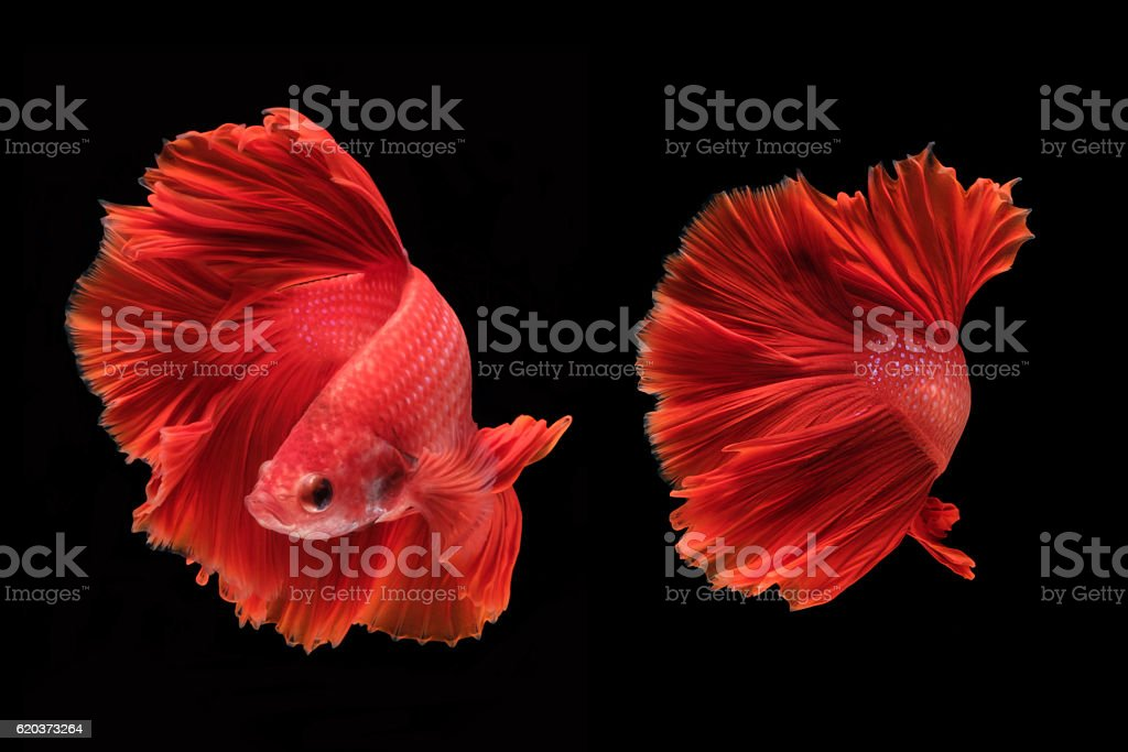 Capture the moving moment of fighting fish isolated zbiór zdjęć royalty-free