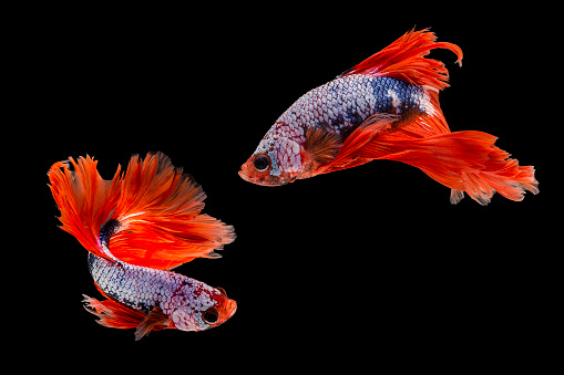 Capture the moving moment of siamese fighting fish, Two betta fish isolated on black background