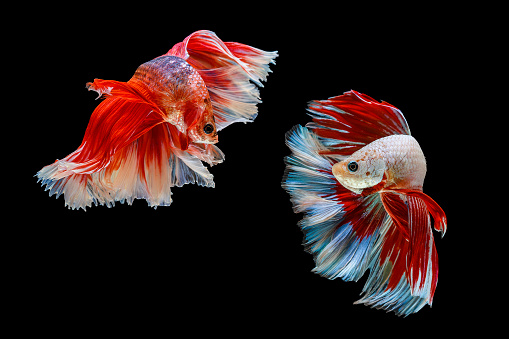 istock Capture the moving moment of siamese fighting fish, Two betta fish isolated on black background 1147350122