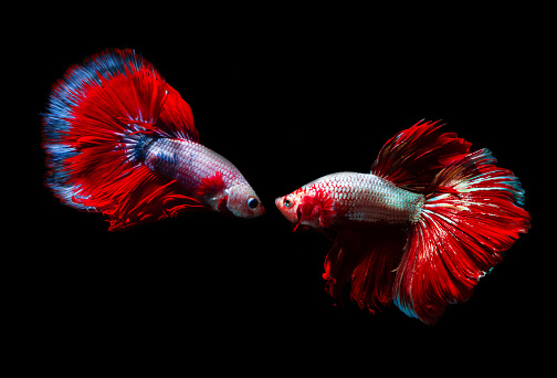 istock Capture the moving moment of siamese fighting fish, Two betta fish isolated on black background,Betta fish isolated on black background 1173625714