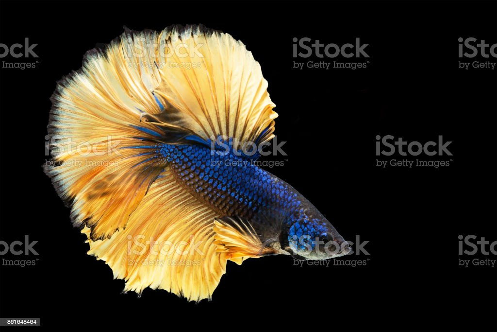 Capture The Moving Moment Of White Siamese Fighting Fish Isolated On