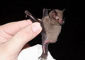 istock captured bat, Seba's Short-tailed Bat (Carollia perspicillata) Brillenblattnase 1212609668