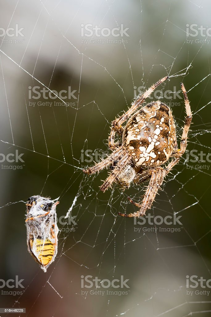 Captured in spiders' web stock photo