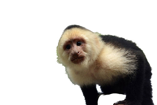 Capuchin Face Close up stock photo