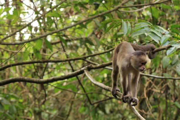 Capuchin monkey in Amazon Rainforest. stock photo