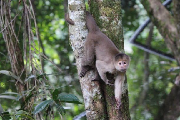 Capuchin monkey in Amazon Rainforest stock photo