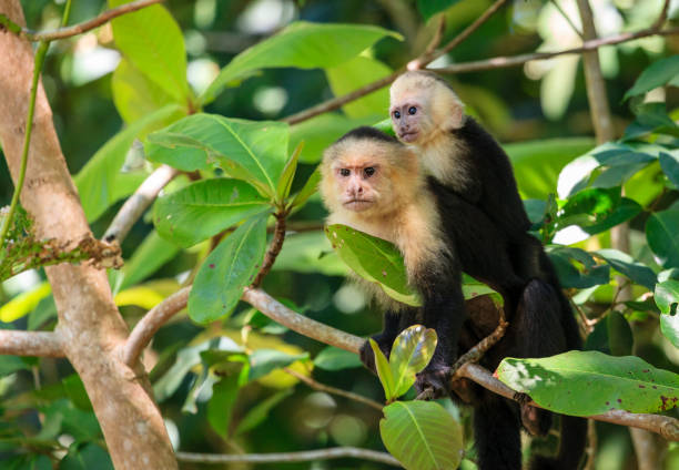 Capuchin monkey mother with baby stock photo