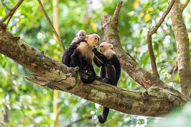 Capuchin Monkey on branch of tree - animals in wilderness – Foto