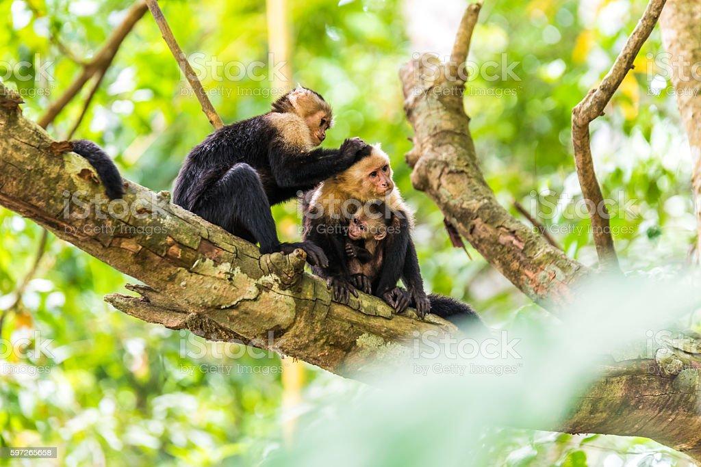 Capuchin Monkey on branch of tree - animals in wilderness Lizenzfreies stock-foto