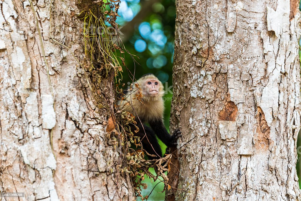 Capuchin Monkey on branch of tree - animals in wilderness royalty-free stock photo