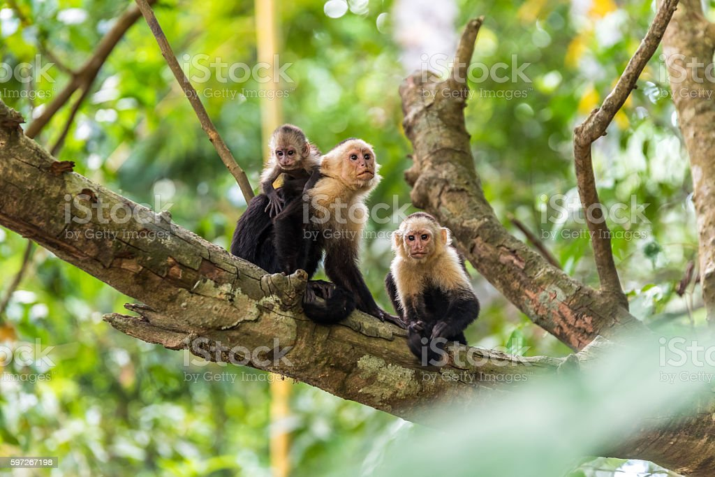 Capuchin Monkey on branch of tree - animals in wilderness Lizenzfreies stock-foto