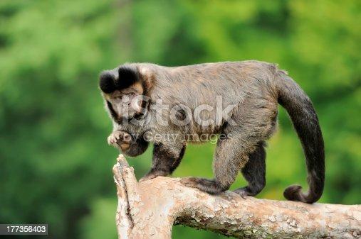 istock Capuchin monkey 177356403