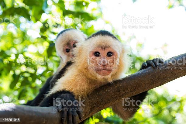 Free capuchin monkey Images, Pictures, and Royalty-Free