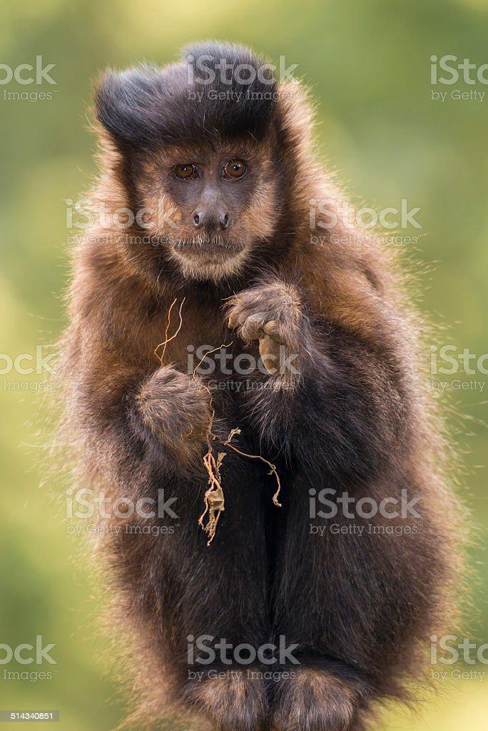 Capuchin monkey stock photo