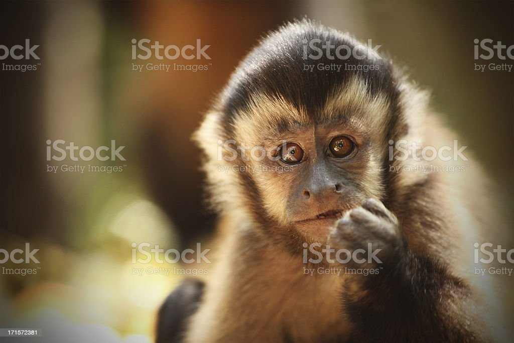 Capuchin Monkey (Sapajou), South Africa stock photo