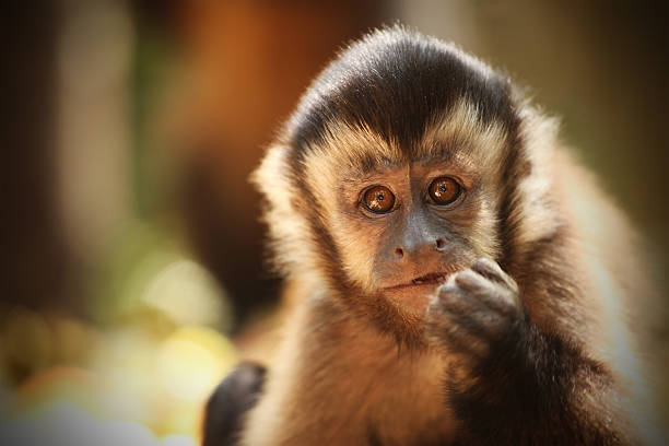 Capuchin Monkey (Sapajou), South Africa stock photo