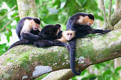 Group of white-headed Capuchin Monkeys (Cebus capucinus) together on a tree branch in the Manuel Antonio National Park, Costa Rica, Central America.
