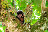 Capuchin monkeys. On top of a figs tree looking down. On a jungle trail at Iguazu national park