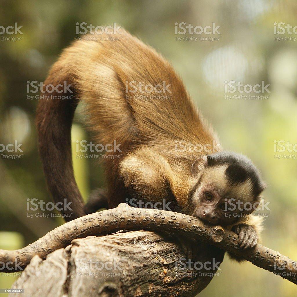 Capuchin stock photo