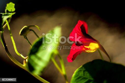 Une fleur de capucine rouge en floraison. Prise de vue extérieur. Contre jour.Une fleur de capucine rouge en floraison. Prise de vue extérieur. Contre jour.