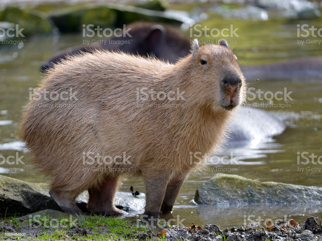 Closeup capybara the paws in water at the edge of a pond and seen...