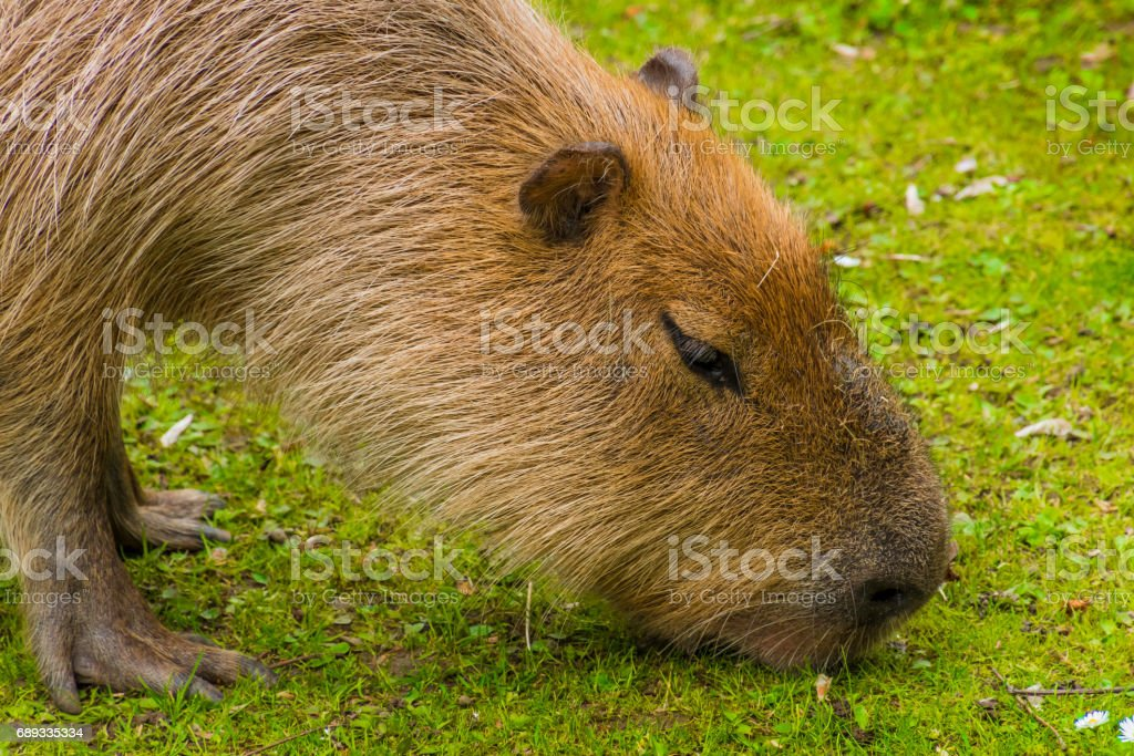 Capybara brown fur biber like on grass stock photo