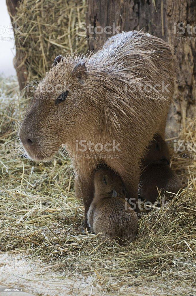 Capybara family stock photo