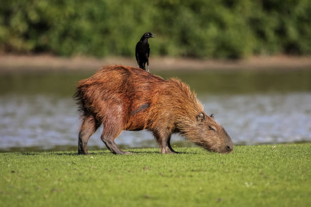 Capybara grazing at the river edge with a Cowbird on its back – Foto
