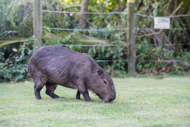 capibara özel mülkiyet içinde çimenlerin üzerinde otlatma. cabycara sakin ve yumuşak memeli, rio de janeiro çok yaygın olduğu - omurgalı stok fotoğraflar ve resimler