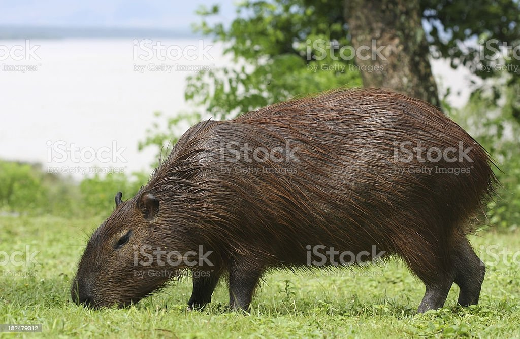 Capybara grazing stock photo