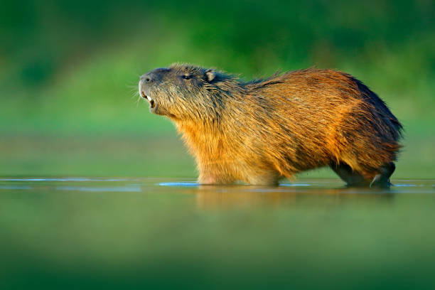 Capybara, Hydrochoerus hydrochaeris, Biggest mouse in water with evening light during sunset, Pantanal, Brazil. Wildlife scene from nature. Wildlife Brazil.  Mammal, open muzzle with white tooth. stock photo