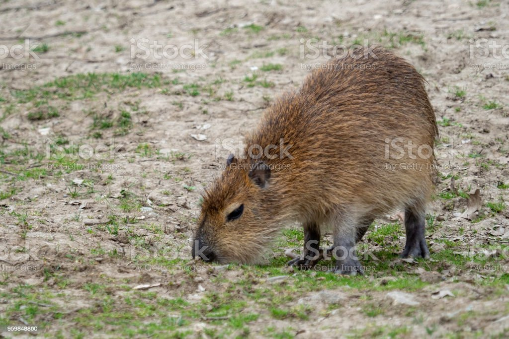 Capybara - Hydrochoerus hydrochaeris eats grass stock photo
