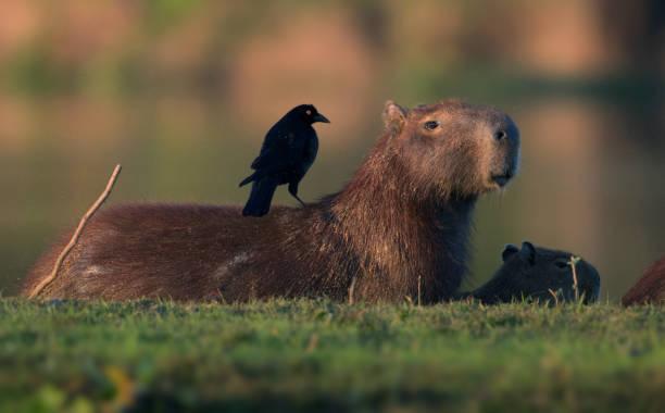 Capybara in Pantanal Brazil stock photo