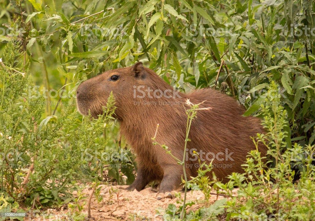 Capivara no Pantanal - foto de acervo