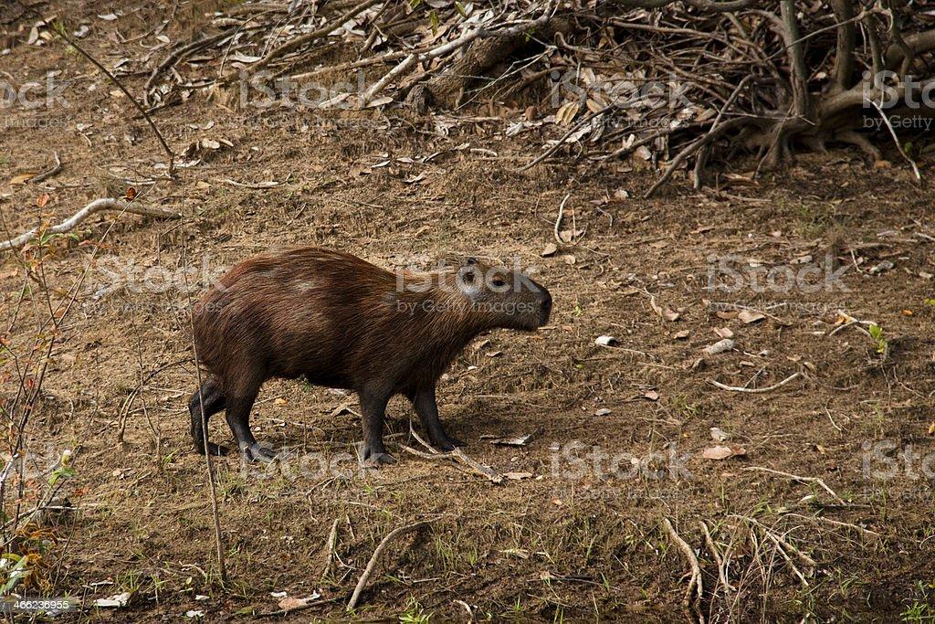 Capybara in the woods stock photo
