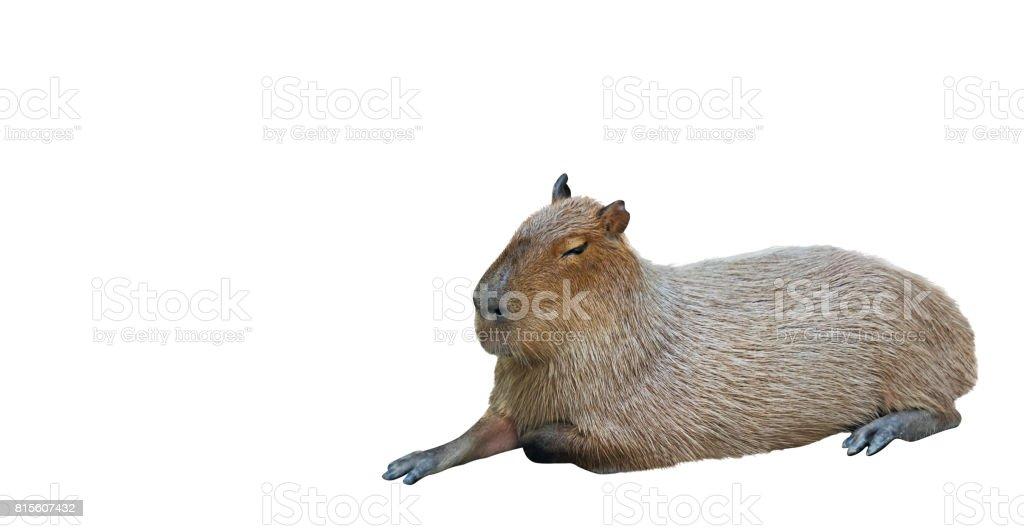 Capybara Lie Down on White Background stock photo