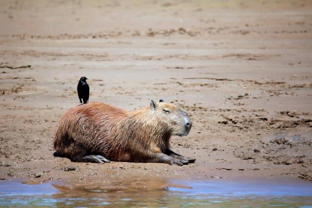 Capybara on River Bank stock photo