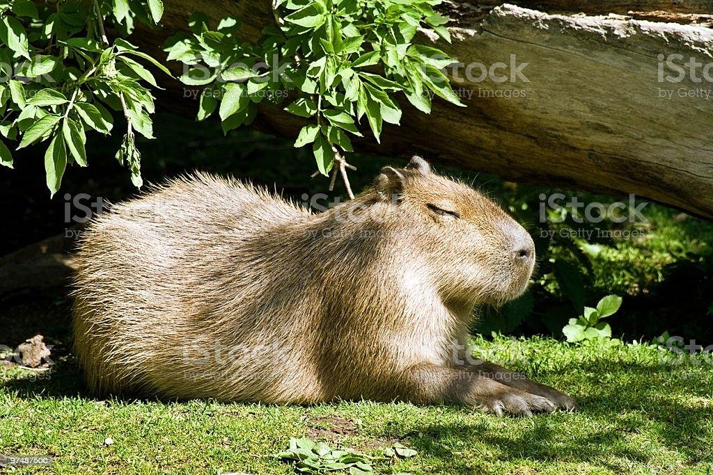 Capybara outdoors royalty-free stock photo