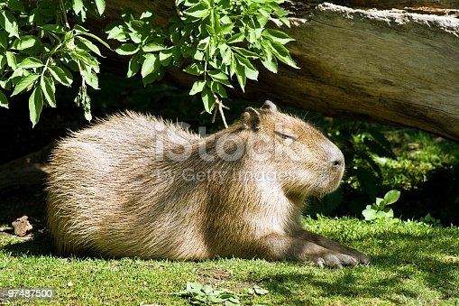 Capybara Outdoors Stock Photo & More Pictures of Animal