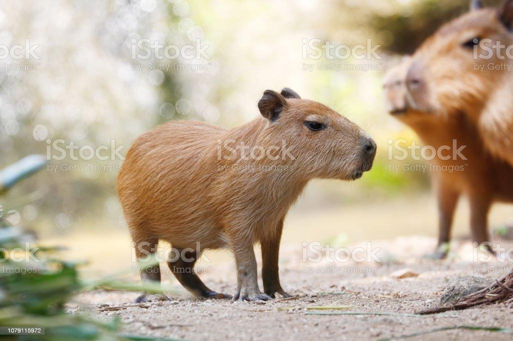 Capybara (Hydrochoerus hydrochaeris) Very cute largest rodent Capybara (Hydrochoerus hydrochaeris) Capybara Stock Photo