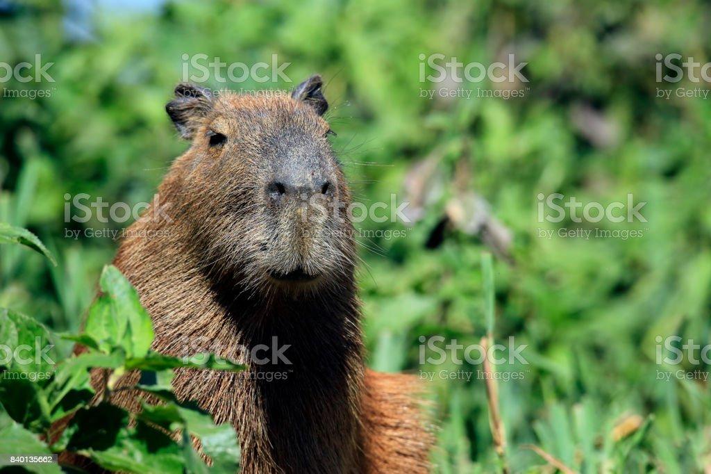 Kapybara bildbanksfoto
