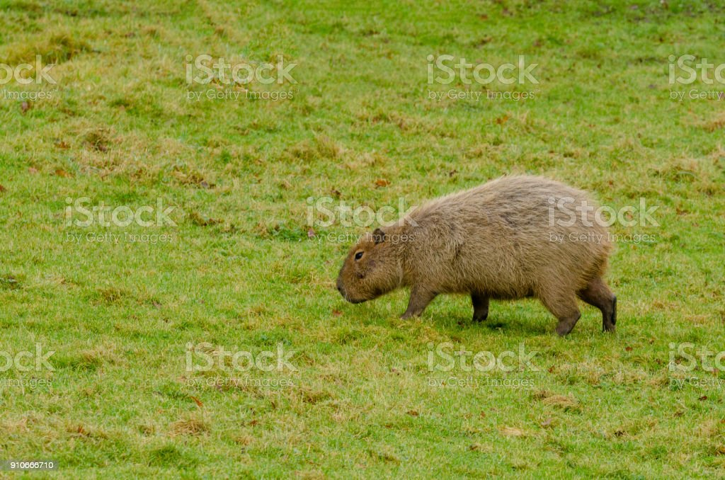 Capybara royalty-free stock photo