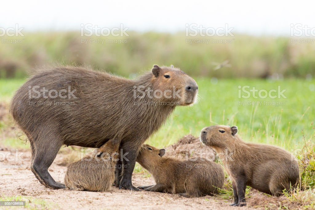 Capybara (Hydrochaeris Hydrochaeris) – Foto